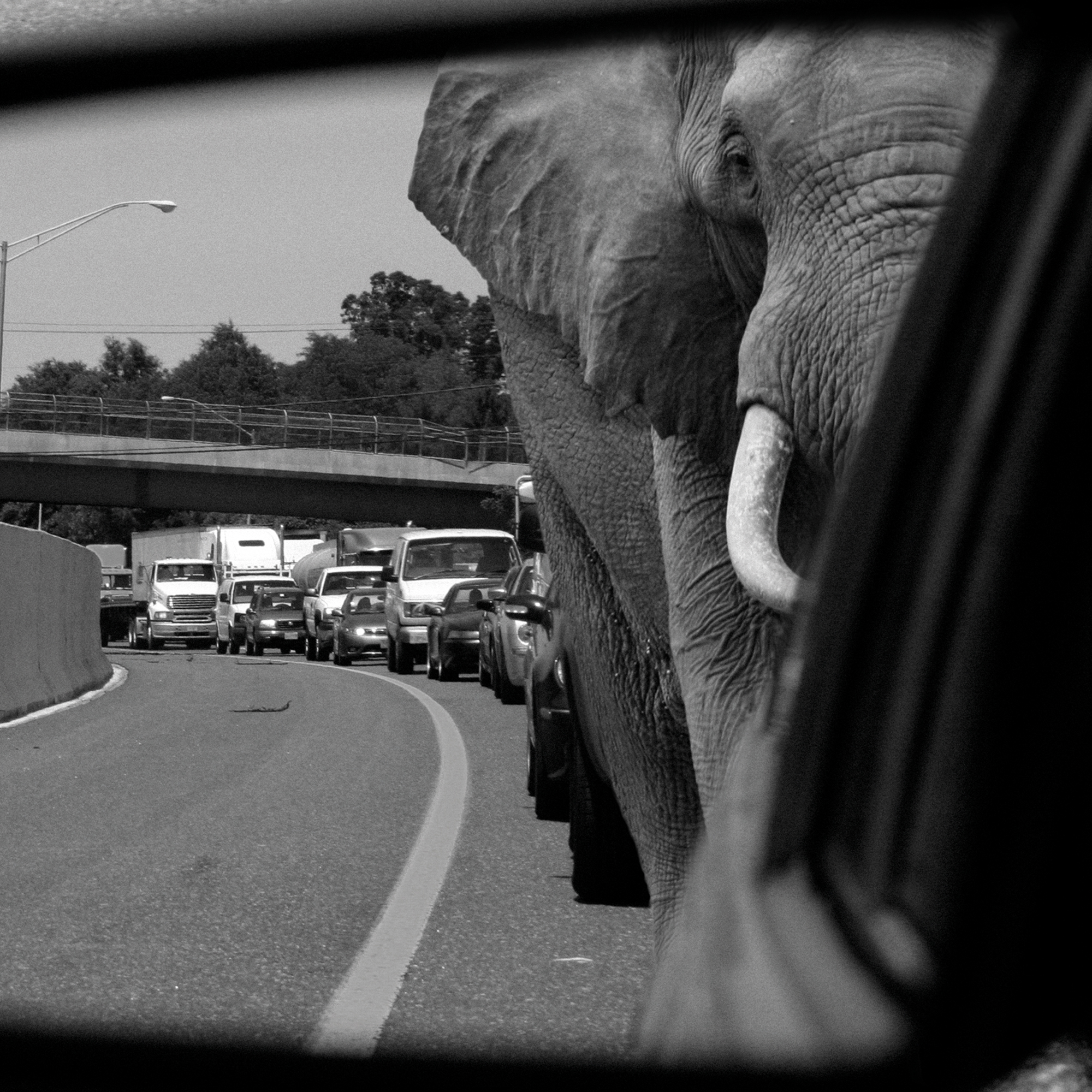 Close-up of a black and white photoshopped photography art print featuring an elephant stuck in a traffic jam