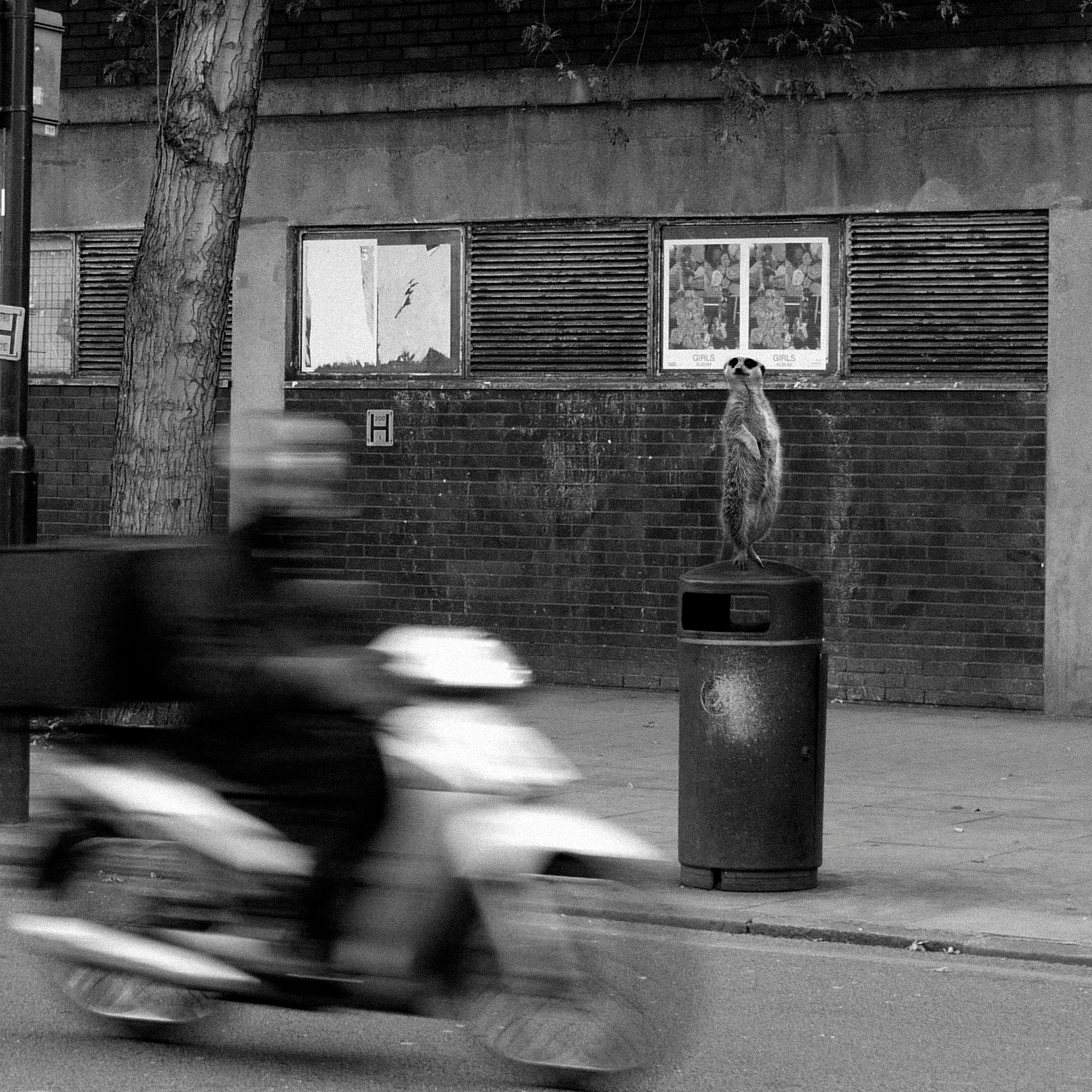 Close-up of a black and white photoshopped photography art print of a meerkat stood watching London traffic