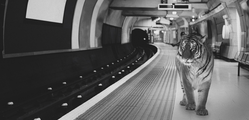 Close-up of a black and white photoshopped photography art print featuring a tiger on a platform of the London Underground